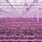 cannabis-greenhouse-enterprise