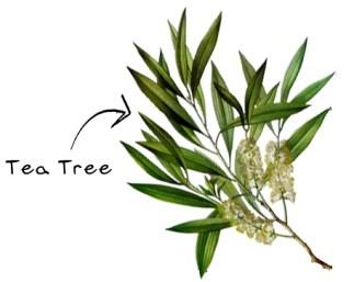 tea tree figura