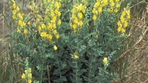 Toadflax