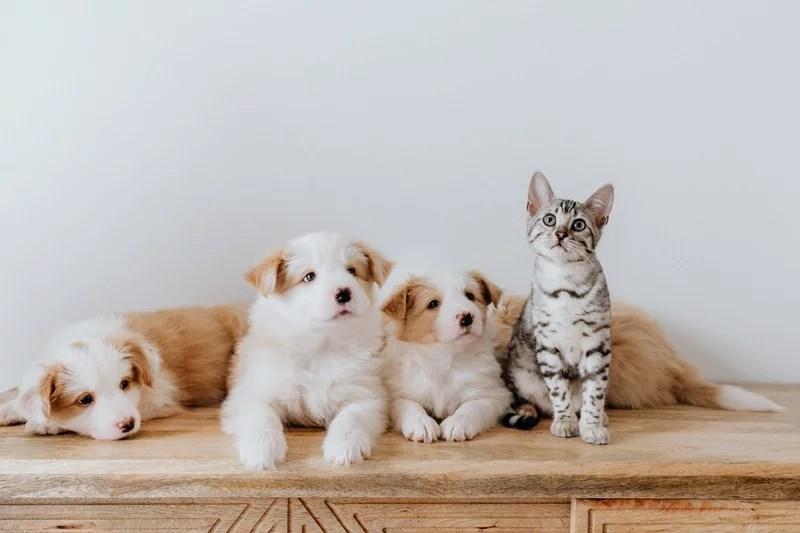 katt och hundar