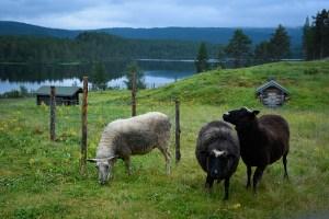 Kansallispuistojen paimenviikkojen hurja suosio jatkuu – yli 14 000 hakemusta ensi kesän kohteisiin