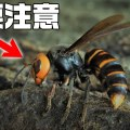 【危険】スズメバチから襲われないためにはどうすればイイ?