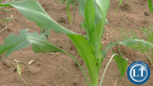 Army Worms attacking maize plant