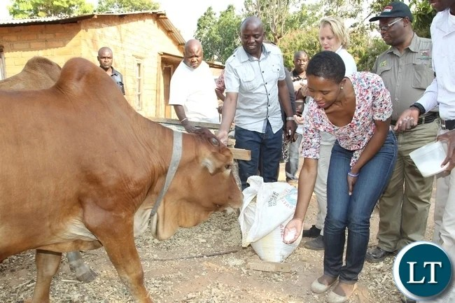 President Lungu's daughter Tasila Lungu feeding the cows at Leston Mwalupanga's farm at in Mwange, Mporokoso. Miss Tasila Lungu is on an invitation of touring the UNICEF and government sponsored youth programmes in Northern Province. Leston is a benefiary of Mwange Youth Resettlement scheme funded by government and UNICEF.