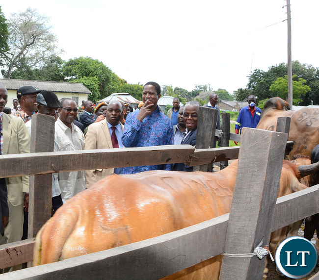 President Lungu looks at the cows after passing through the deep tank at Namwala Agriculture offices