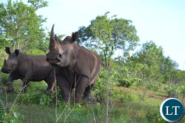 Inonge, the matriarch Rhino with Snares