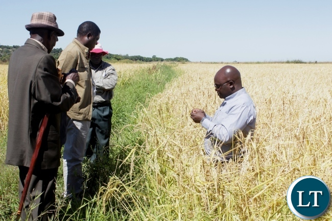 Western Provincial Agriculture Coordinating Officer Alex Chilala (r) showing ripe rice grains to Mongu District Commissioner Susiku Kamona (c) and Chief Namutwi (l) during the launch program for Rice Seed Harvesting activities supported by Steward Globe Limited (AFRISEED) at Namushakende Farming Institute in Mongu