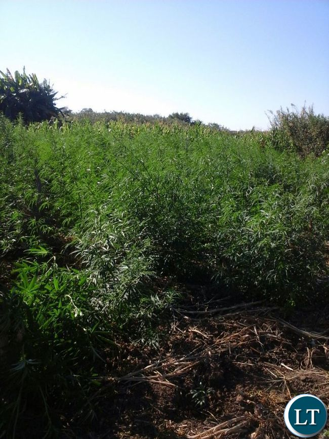 Loose cannabis seized by Drug Enforcement Commission in  Mambwe District