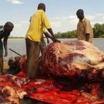 The great Zambian hippo slaughter of the Luangwa Pic-Kamisa Malipita