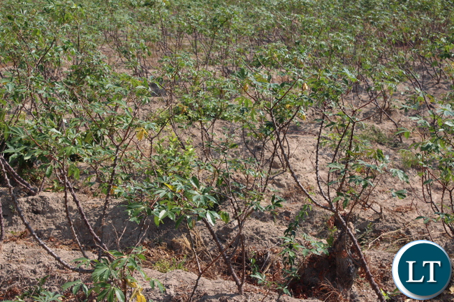 cassava-pic