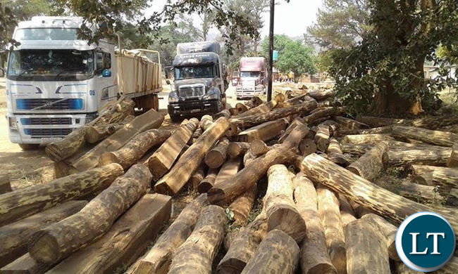Impounded trucks loaded with Mukula logs