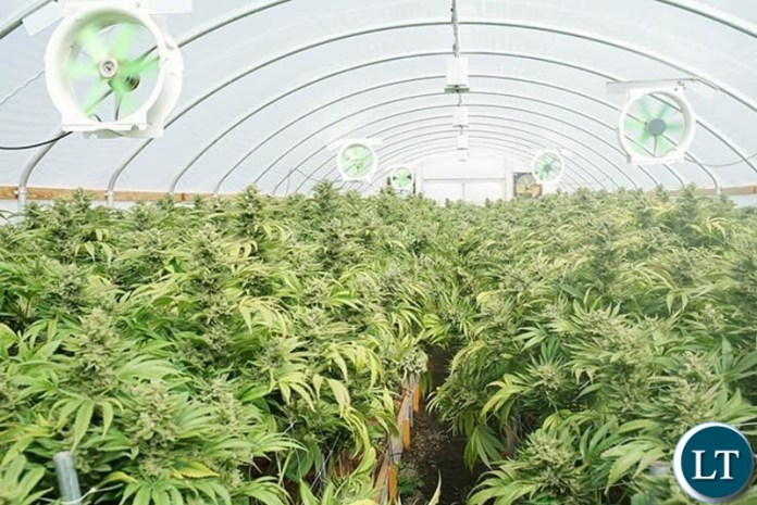 A Canabis Cultivation indoor Farm