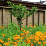 California Poppies in Orchard