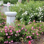 Burbank Rose & Heritage Rose