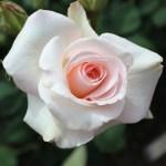 'White Delight' Rose