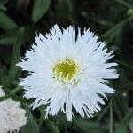 Shasta Daisy (double)