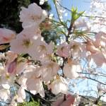 'Akebono' Flowering Cherry
