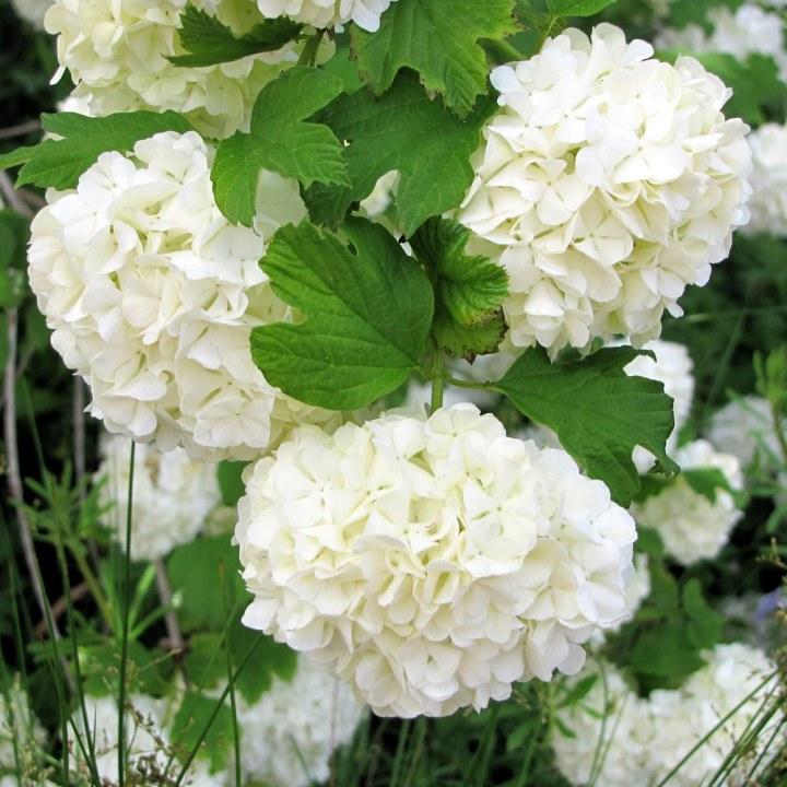 Japanese Snowball Bush