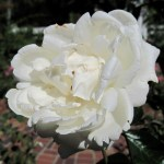 'Home and Family' Rose