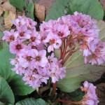 Winter Blooming Bergenia