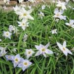 Star Flowers