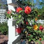 'Joseph's Coat' Rose