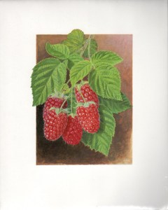 Fruit Print - Red Berry