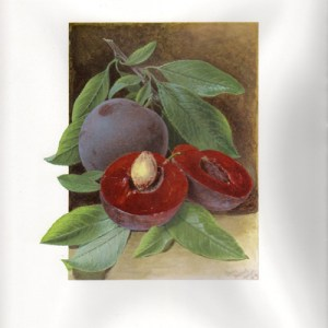 Fruit Print - Cut Plum