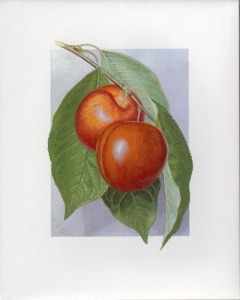 Fruit Print - Plumcot