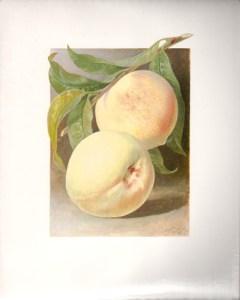 Fruit Print - White Peach