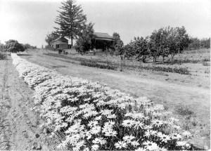 Vintage photo of row of Shasta Daisies at Gold Ridge Farm