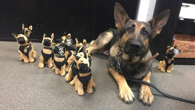 "Photo of OCSO K9 ""Han"" TO GET BODY ARMOR"