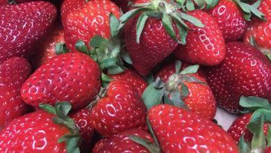 Photo of McRay Farms Opens U-Pick Strawberry Market