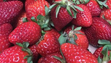 Photo of McRay Farms Opens U-Pick Strawberry Market