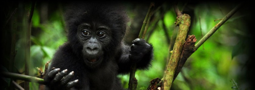 Gorilla Forest Camp Uganda 1