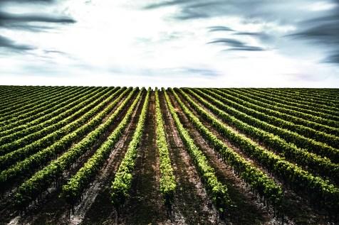 LOUIS_XIII_Grande_Champagne_Vineyards