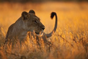 Africa, Botswana, Lioness in central kalahari game reserve --- Image by © Fotofeeling/Westend61/Corbis