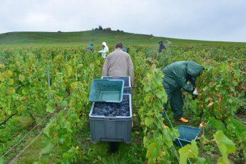 Vendanges Veuve Clicquot - photo Michel Jolyot (116)