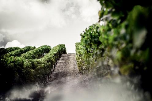 The vineyard, white sky.
