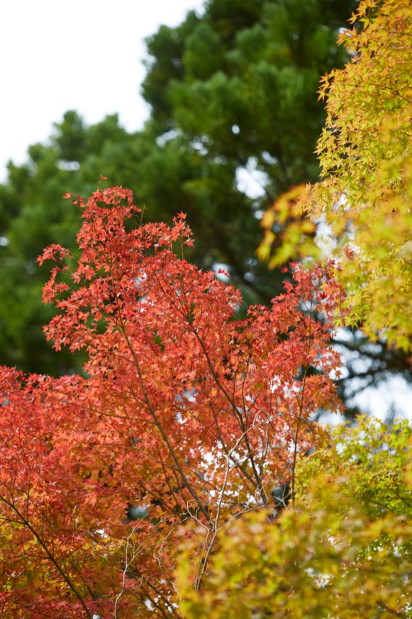 Maple leaves in Autumn.tif