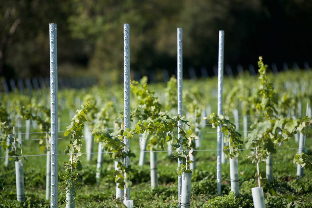 Growing in the Right Direction at Dillions Vineyard in West Sussex 4
