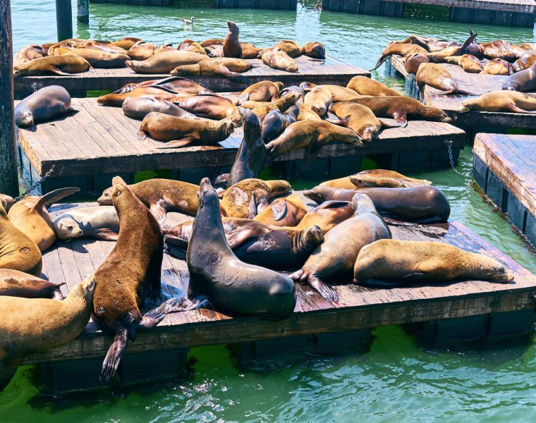 San Francisco Celebrates the 30th Anniversary of the Iconic Sea Lions' Arrival