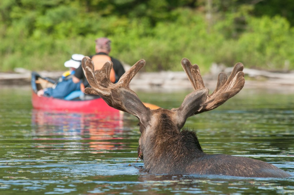 A moose swimming on the Algonquin Park Moose Safari