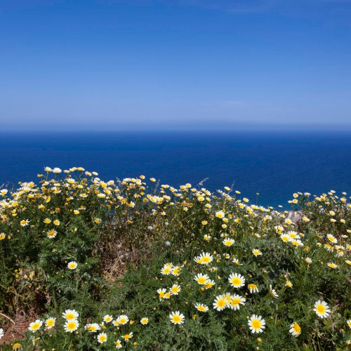 Wild flowers growing on a hill overlooking the sea. Island of Santorini, Cyclades, Greece.