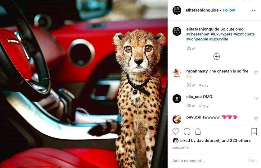 illegal cheetah pets ultra rich