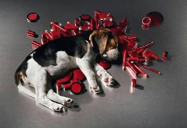 Cachorro da raça beagle deitado sobre lápis vermelhos e objetos de cor vermelha, simulando testes realizados em animais. Fundo da imagem em cinza escuro.
