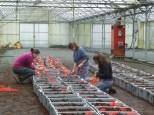 Plantation de Tulipe