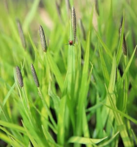 Image of a tick in the grass possibly carrying Lyme Disease