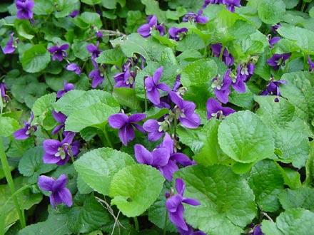 Viola mammola: questa famiglia comprende circa 500 specie tra cui la viola del pensiero, sia le foglie che i fiori sono commestibili