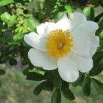 Photo of a white rose in full bloom. The center crown of pestles is golden yellow.